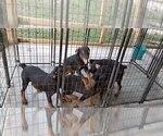 Small #84 Rottweiler