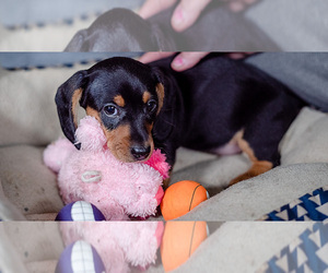 Dachshund Puppy for sale in DES MOINES, IA, USA