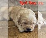 Small Photo #9 Golden Retriever Puppy For Sale in ROGERSVILLE, MO, USA