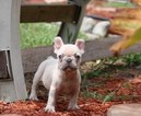 French Bulldog Puppy For Sale in FORT PIERCE, Florida,