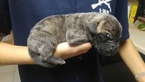 Great Dane Puppy For Sale in COLORADO SPRINGS, CO, USA