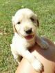 Golden Retriever Puppy For Sale in WILLOW SPRINGS, MO, USA