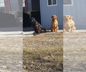 Mother of the Labrador Retriever puppies born on 03/12/2019