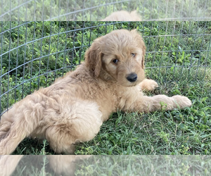 Goldendoodle Puppy for Sale in IONIA, Kansas USA