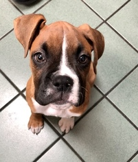 Boxer Puppy for sale in ARLINGTON, TX, USA
