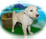 Small #2 Collie-Labrador Retriever Mix