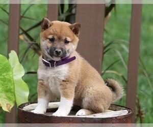 Shiba Inu Dog for Adoption in FREDERICKSBG, Ohio USA