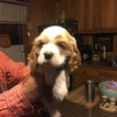 Cocker Spaniel Puppy For Sale in LINDALE, GA