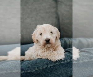 Goldendoodle Puppy for sale in SHREVE, OH, USA