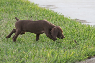 German Shorthaired Pointer Puppy For Sale in MERCEDES, TX, USA