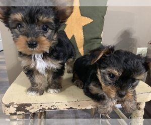 Yorkshire Terrier Puppy for sale in JOHNSTON CITY, IL, USA