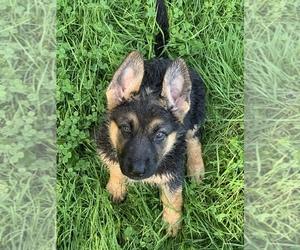 German Shepherd Dog Puppy for sale in LINESVILLE, PA, USA