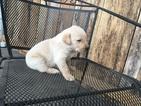 Labrador Retriever Puppy For Sale in PEARCY, AR, USA