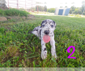 Great Dane Puppy for Sale in STOCKTON, Missouri USA