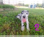 Great Dane Puppy For Sale in STOCKTON, MO, USA
