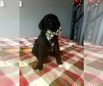 Small Photo #4 Poodle (Standard) Puppy For Sale in ROGERSVILLE, AL, USA