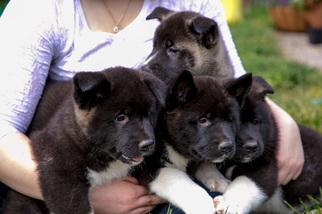 Akita Puppy For Sale in PHILADELPHIA, PA