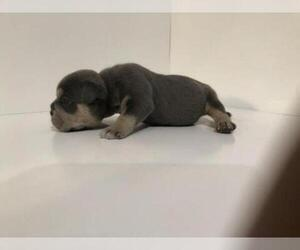 American Bully Puppy For Sale in ATL, GA, USA