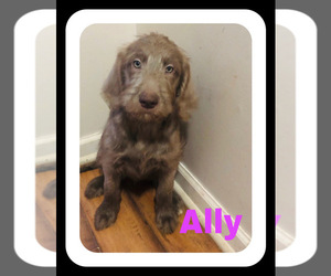Labradoodle Puppy for Sale in BROWNSTOWN, Michigan USA