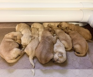 Golden Retriever Puppy for Sale in CLEMENTS, Maryland USA