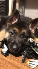 German Shepherd Dog Puppy For Sale in EAST LYME, CT, USA