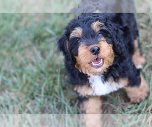 Bernedoodle Puppy for Sale in BENTON, Kentucky USA