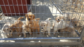 Golden Retriever Puppy For Sale in PALMDALE, CA