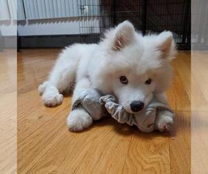 Samoyed Puppy for sale in HARRAH, OK, USA
