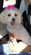 Maltese-Poodle (Standard) Mix Puppy For Sale in FAYETTEVILLE, NC