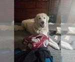 Small #1 Golden Pyrenees-Great Pyrenees Mix
