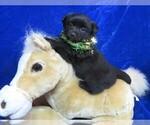 Puppy 1 Poo-Shi