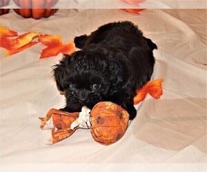 Poochon-Shih Tzu Mix Puppy for sale in ABILENE, TX, USA
