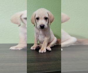 Labrador Retriever Puppy for sale in EL PASO, TX, USA
