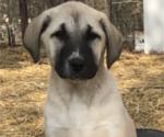 Puppy 2 Anatolian Shepherd
