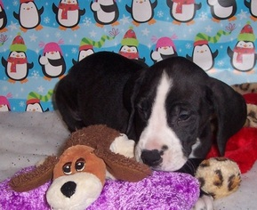 Great Dane Puppy For Sale near 15362, Spraggs, PA, USA