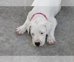 Puppy 11 Dogo Argentino