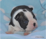 Small #3 Boston Terrier