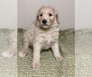 Poodle (Standard) Puppy for sale in WINSTON SALEM, NC, USA
