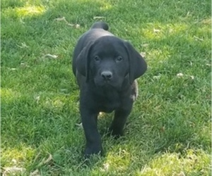 Labrador Retriever Puppy for Sale in YAKIMA, Washington USA