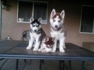 Siberian Husky Puppy for sale in PERRIS, CA, USA