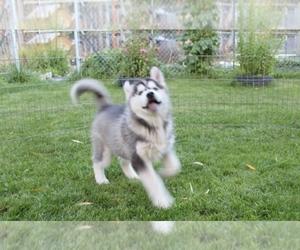Siberian Husky Puppy for sale in TACOMA, WA, USA
