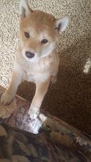 Shiba Inu Puppy For Sale in EPHRATA, PA