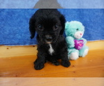 Cavalier King Charles Spaniel Puppy For Sale in CHILTON, WI, USA