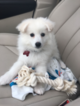 Magnificent American Eskimo Puppy for Sale
