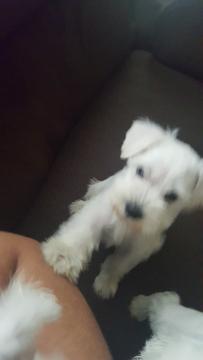 Schnauzer (Miniature) puppy