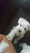 Schnauzer (Miniature) Puppy For Sale in HONAKER, VA, USA