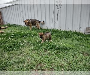 German Shepherd Dog Puppy for sale in MARRERO, LA, USA
