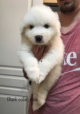 Great Pyrenees Puppy For Sale in ELK GROVE, CA, USA