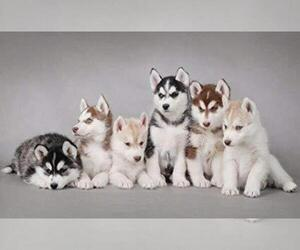 Siberian Husky Puppy for sale in CHESTER, IN, USA