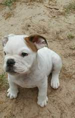 English Bulldogge Puppy For Sale in SPRING, TX